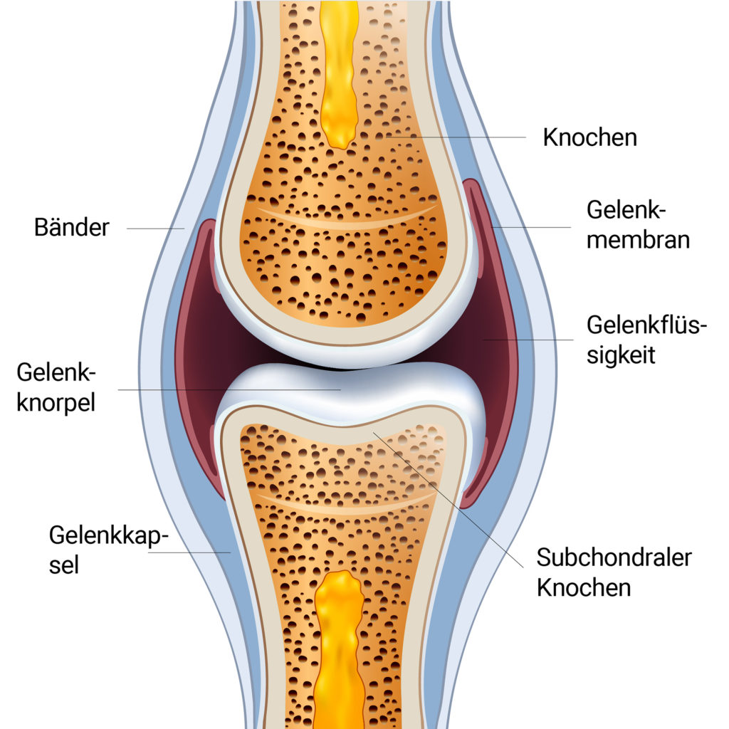 normal synovial joint anatomy